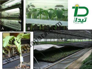 روش تولید نشای پیوندی در گلخانه