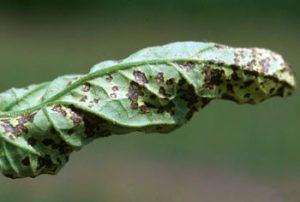 کاشت بذر ضدعفونی شده در سینی نشا